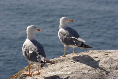 BIRDS OF THE ISLANDS - CIES ISLANDS