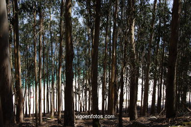 THE FORESTS OF CIES ISLANDS - CIES ISLANDS