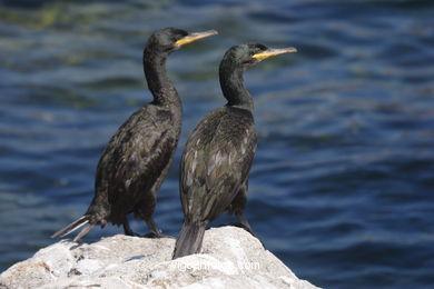 Cormoranes en las Islas Cíes
