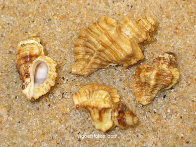 MARINE SHELLS AND CONCHES