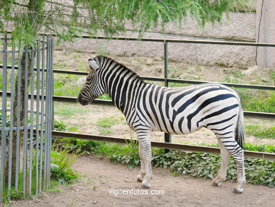 ZEBRAS.ZEBRA BURCHELLI AND CHAPMAN