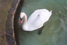 SWANS. COMMON SWAN