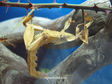 INSECTS: STICK INSECT, LEAF INSECT ...