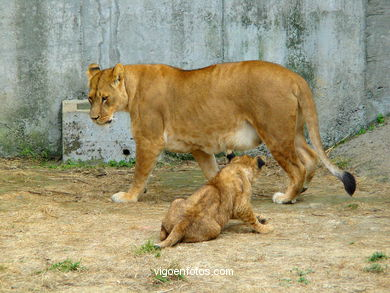 LION CUBS AND  LEONE